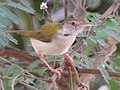 Common Tailorbird 1.jpg