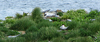 Common tern - Nest site, Elliston, Newfoundland and Labrador