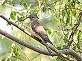 Common hawk cuckoo (Hierococcyx varius) 4.jpg