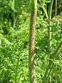 Conium maculatum Hauxley 2.jpg