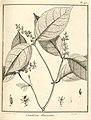 Conohoria flavescens Aublet 1775 pl 95.jpg
