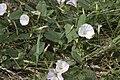 Convolvulus arvensis vallee-de-grace-amiens 80 21072007 1.jpg