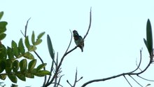 ไฟล์:Coppersmith Barbet Hammering Copper (ogg).ogv