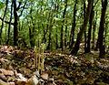 Corallorrhiza trifida 04 mg-k.jpg