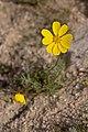 Coreopsis bigelovii — David~O 001.jpg