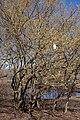 Cornus mas (Cornelian-Cherry) (32397617983).jpg