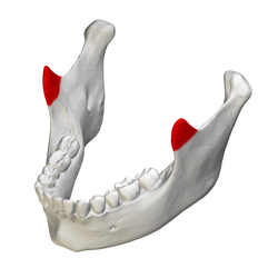Coronoid process of mandible - close up - superior view.png