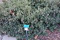 Correa pulchella - San Luis Obispo Botanical Garden - DSC06119.JPG