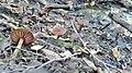 Cortinarius gentilis photo sans flache.jpg