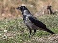 Corvus cornix EM1B8734 (34394252586).jpg