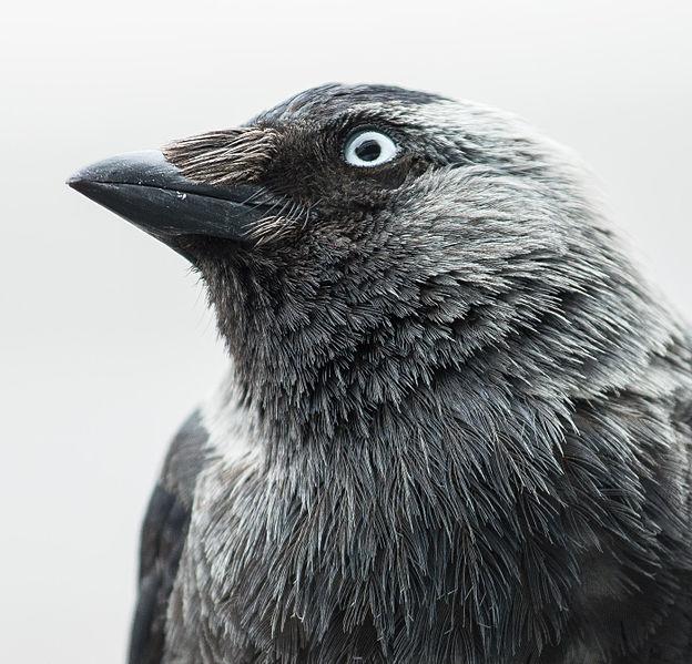 File:Corvus monedula in 2015.jpg