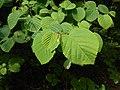 Corylopsis spicata 2017-06-25 2987.jpg