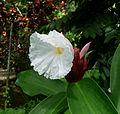 Costus speciosus – Crepe Ginger (6840882109).jpg