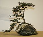 Cotoneaster bonsai at Capel Manor Autumn Show 2007.jpg