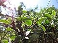Cotoneaster cambricus.jpg