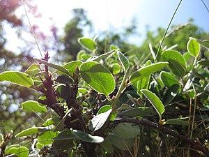 Cotoneaster cambricus - Image: Cotoneaster cambricus