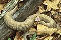Cottonmouth Snake, Gaping.jpg