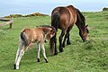 Countisbury, Exmoor mare and foal - geograph.org.uk - 176711.jpg