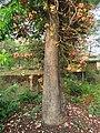 Couroupita guianensis - Cannon Ball Tree at Peravoor (23).jpg