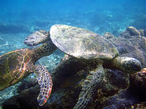 Courtship - Courtship of green turtles