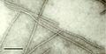 Cowpea mmv micrograph.jpg