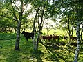 Cows in trees at the edge of a field - geograph.org.uk - 501611.jpg