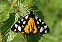 Cream-spot Tiger moth - Arctia villica.jpg