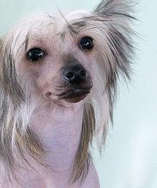 китайская-хохлатая собака фото
