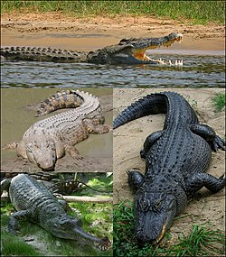 Crocodilia collage1.jpg