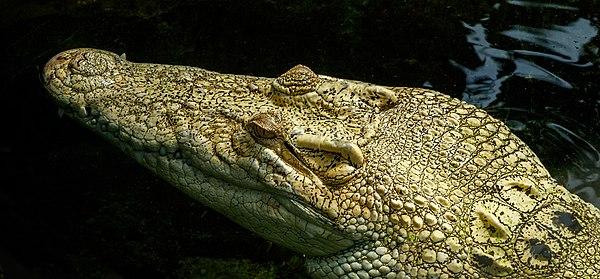 Crocodylus porosus Schneider, 1801, Saltwater crocodile, female; Wilhelma, Stuttgart