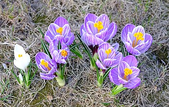 Crocus - Pickwick cr.jpg