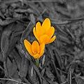 Crocus Flower 5132-1.jpg