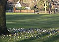 Crocuses in Woodthorpe Grange Park - geograph.org.uk - 1198301.jpg