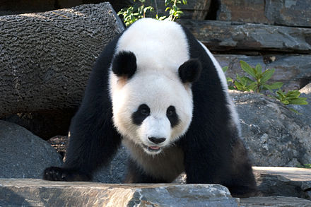 Panda-gigante, animal endêmico da China. - República Popular da China