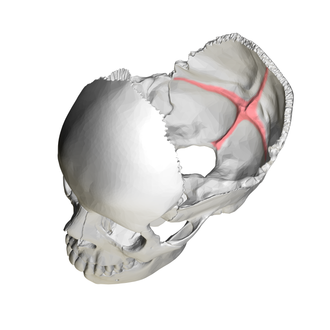 Cruciform eminence - Human skull. Position of cruciform eminence is shown in red.