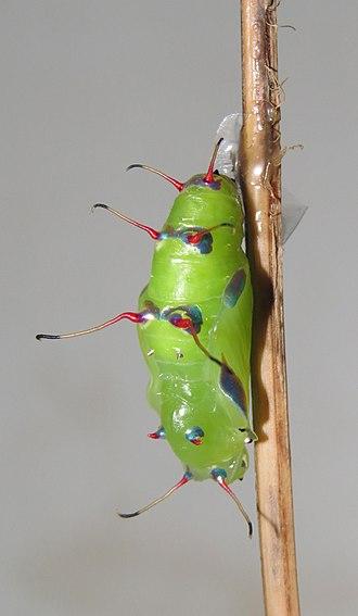 Cupha erymanthis - Image: Cupha erymanthis – Sahyadri Rustic pupa 08