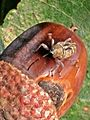 Curculio glandium (Curculionidae sp.), Molenhoek, the Netherlands.jpg