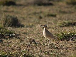Cursorius cursor -Lanzarote, Canary Islands, Spain-8.jpg