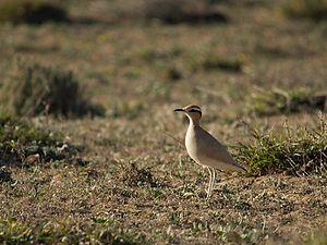 Racing bird (Cursorius cursor)