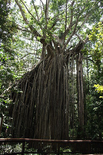 Atherton Tableland - Curtain Fig Tree, Atherton Tableland