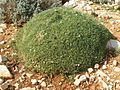 Cuscino di Astragalus terracianoi.jpg