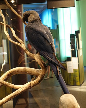 Spix's macaw - Taxidermied adult, Naturkundemuseum Berlin