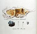 Cyathus olla — Flora Batava — Volume v10.jpg