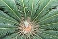 Cycas revoluta 15zz.jpg