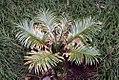 Cycas revoluta Neocaledonica 2zz.jpg