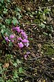 Cyclamen hederifolium Amaze me1.jpg