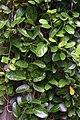 Cynanchum ellipticum00.jpg