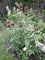 Cynara cardunculus in bloom, Morris Arboretum 01.JPG