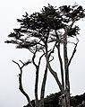 Cypress Trees, Sutro Baths, San Francisco (34767629064).jpg