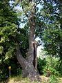 Czajecice tree 20060812 1401.jpg